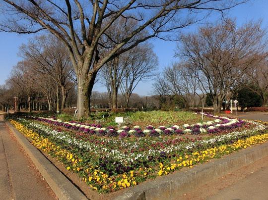 1月12日(2016) 手入れされた花壇:小金井公園「花の会」のボランティア活動のおかげで、冬の朝、心あたたまる花が見れました(1月5日)