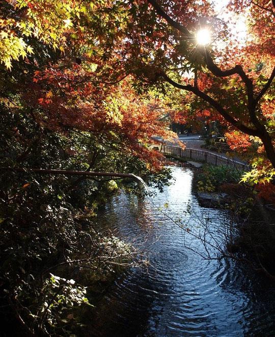 11月24日(2013)モミジと池:深大寺境内にて