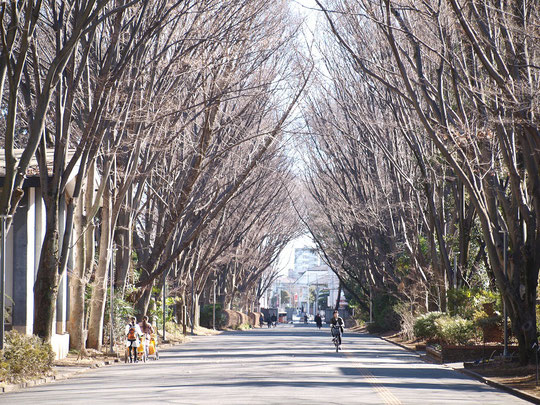 2月3日(2017) 冬木立の並木道:東京学芸大学(小金井市)東門の並木です。キャンパス内には、だれでも利用できるカフェ(note cafe)もあり、とても気持ちのよい場所でした