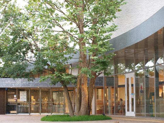 8月9日(2017) 図書館に立つプラタナス:今年、国分寺市に出来た都立多摩図書館。入口の前に大きなプラタナスがそびえ立っていました。以前このあたりに建物は何もなく、西国分寺駅から武蔵国分寺公園へ向かう近道になっていて、この大木を見かけた気がします。