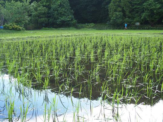 6月16日(2016) 田植えのあと(大沢たんぼ) 小学生などの田植え体験で里山の景色が蘇りました(6月14日、三鷹市の大沢の里にて)