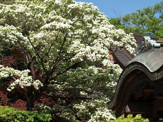 ●ラリーポイントKの深大寺で出会った景色です。なんじゃもんじゃ(ヒトツバタゴ)の花が満開でした。4月19日