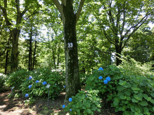 6月18日(2016) 背番号33の木:公園を散策しながら樹木名のクイズに答えるグリーンアドベンチャー。33の木はトチノキでした。6月17日、神代植物公園・あじさい園の近くで