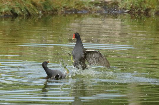 ●バン:ツル目、クイナ科の鳥