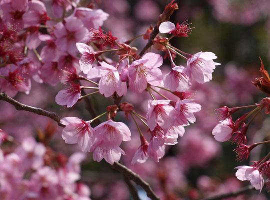 ●ラリーポイントJ 都立神代植物公園・植物多様性センター:ヨコハマヒザクラという珍しい品種です