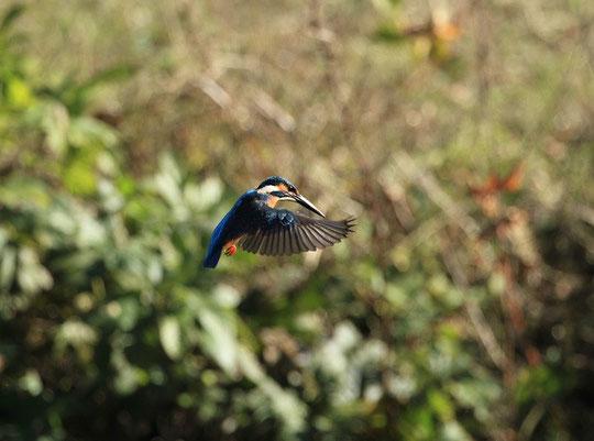 ●12月は、カワセミが飛翔する姿をとらえた写真です