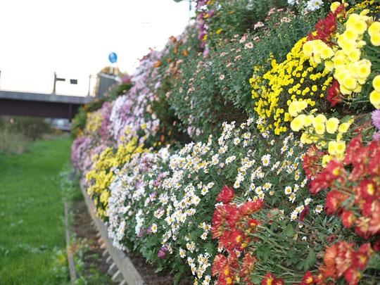 道の上だけではなく遊歩道の壁面にも菊がビッシリ!