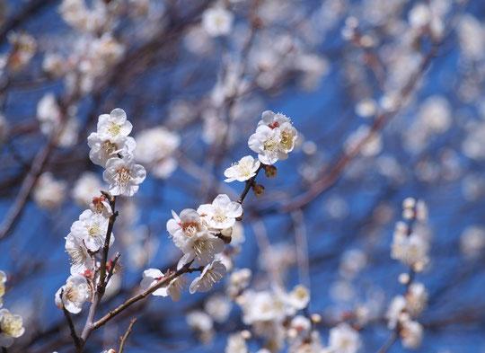2月23日(2021) 満開の梅:桜よりも古くから日本人に好まれてきたという梅。梅干しは疲労回復や抗菌にも効果があり、おにぎりの必需品ですね(野川公園にて)