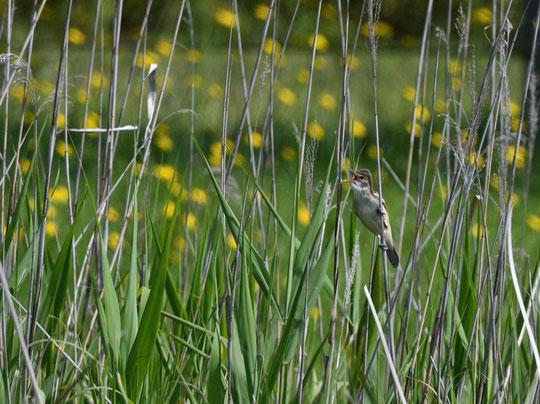 5月17日(2020)朝もやの飛行場:早朝散歩で武蔵野の森公園に行きました。展望の丘からは調布飛行場が一望でき、滑走路の奥にセスナ機が一機、さらに向こうには味スタとスポーツプラザが靄につつまれていました
