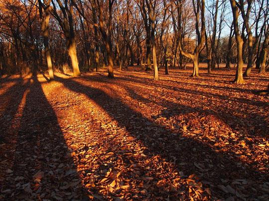12月20日(2014) 朝陽さす冬の雑木林(野川公園)