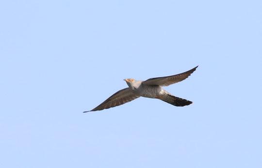 ●大空を気持ちよく飛翔するカッコウです。