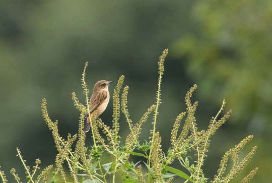 9月23日(2018) ノビタキの休息:ノビタキはスズメ目ツグミ科の夏鳥。秋になり、南に渡る旅の途中に野川界隈に姿を見せました。三鷹市在住の武田さんのご投稿写真です。