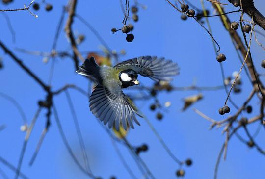 ●食糧を確保し、飛び去るシジュウカラ