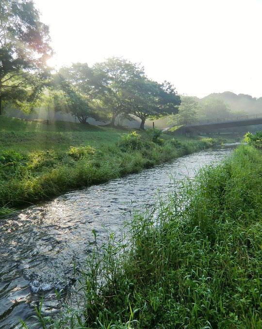 6月13日(2014) ワイルドな野川:連日の雨で水量が増した野川の流れ(くぬぎ橋の近くで)