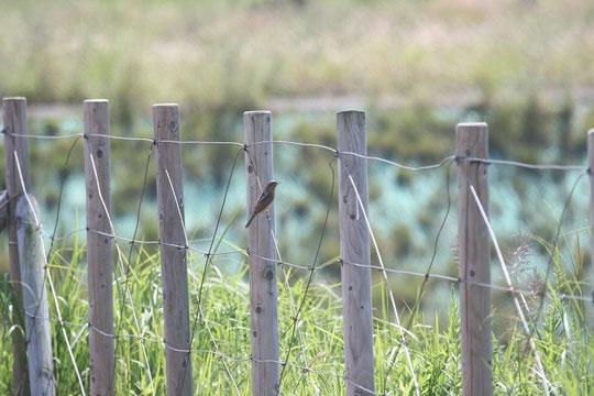 ●調布飛行場のアリスイ:9月23日、武蔵野の森公園から