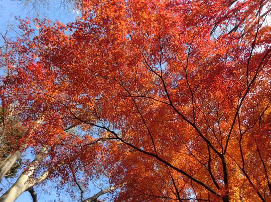 12月3日(2016) モミジ満開:野川公園の雑木林の一画で、イロハモミジが真っ赤に紅葉していました。公園では、場所により、木により、紅葉の進みぐあいが異なるようです。