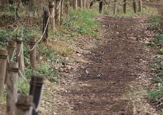 1月26日(2020) シジュウカラの行列:虫や木の実などの食べ物を探しているのでしょう。群れが行列のように見えました。都立野川公園・自然観察園の散策路にて