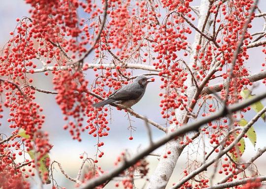 12月19日(2013) 飯桐(イイギリ)の実を食べるヒヨドリ:三鷹市にお住まいの武田さんのご投稿写真(国立天文台西側の国分寺崖線の上、富士山がよく見える場所の近くにて)
