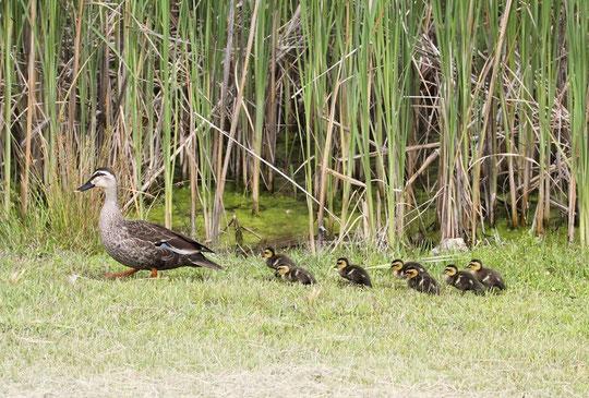 6月4日(2013) カルガモの親子(お母さんが、7羽の子供を連れて歩いています:武蔵野の森公園)三鷹市在住の武田さんのご投稿写真