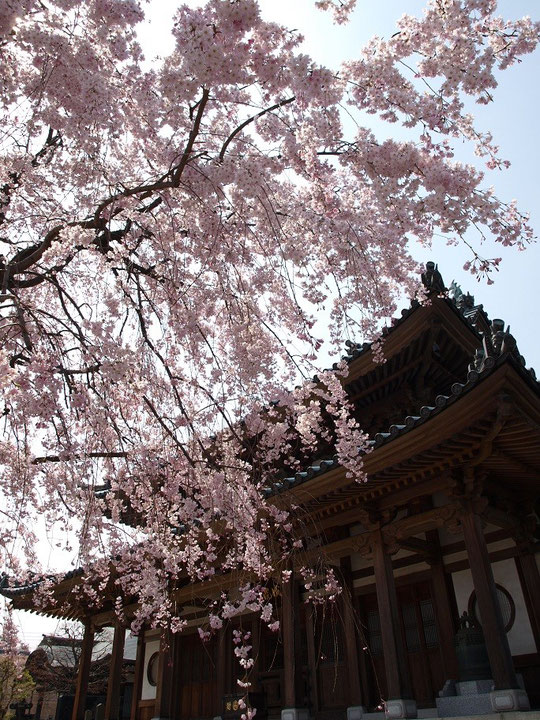 4月1日(2013) 円成院の枝垂桜(小平市)