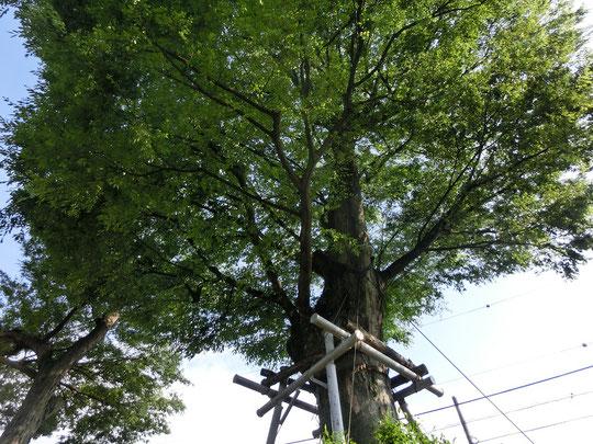 5月16日(2016) 高橋家の大ケヤキ:武蔵野市の住宅街にそびえる巨木。樹齢300年以上、樹高約30m、根本周囲約5mだそうです