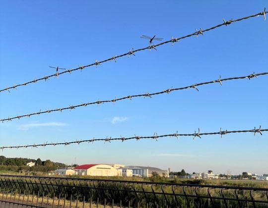 10月1日(2014) その後の曼珠沙華:9月28日に野川公園の自然観察園で撮影。午後の陽ざしの中、枯れてゆく曼珠沙華