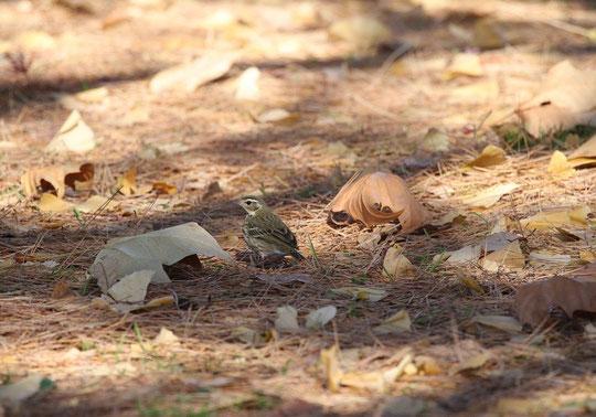 12月21日(2014) 枯葉のなかのビンズイ(三鷹市の武田さんのご投稿写真、12月17日に野川公園の松林で撮影)