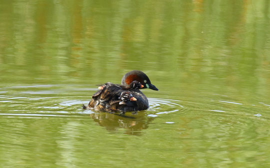 ●おんぶをするカイツブリ。3羽をのせても沈まないのですね!