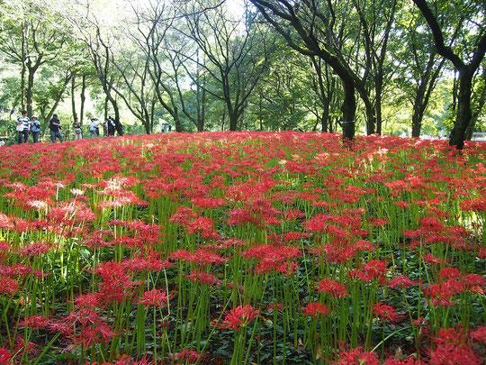 9月18日(2017) 曼珠沙華の群生:台風18号の影響がなくなり、好天となった秋の日。野川公園の自然観察園では一面に曼珠沙華(マンジュシャゲ、別名、彼岸花)の赤が鮮やかでした。秋のお彼岸(秋分の日)ももうすぐですね。
