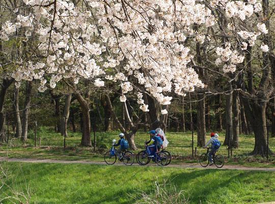●サクラと自転車:ラリーポイントFの都立野川公園・自然観察センターの近くで出会った光景です。野川で魚取りをしたのか、網を持った子もいます。3月31日に撮影