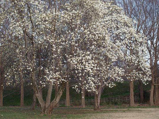 3月15日(2018) 満開のハクモクレン:都立武蔵野公園の西武多摩川線近くに立つ大木。写真の向こう側に線路があります。電車の中からも見えるでしょうか・・・