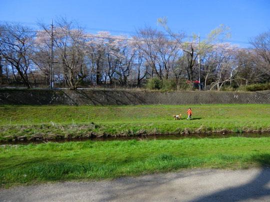 野川右岸から撮った写真にも佐藤さんの姿が。偶然でした