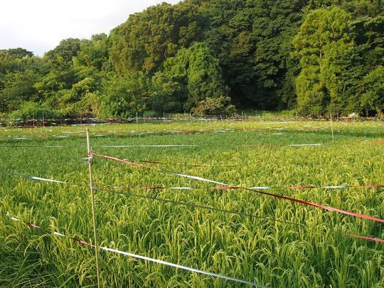 8月12日(2016) 成長した稲穂:5月に子どもたちが田植えをした稲が順調に育っているようです。三鷹市の大沢たんぼにて