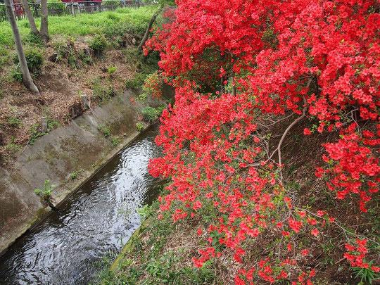 4月25日(2015)玉川上水とツツジ:小金井公園お近くの陣屋橋の上から