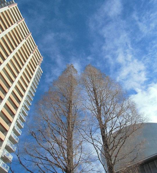 12月27日(2012) 葉が落ちた巨木とそびえるビル(JR武蔵小金井駅前)