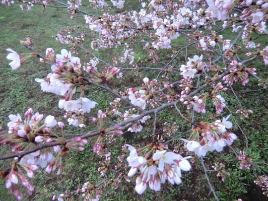 待ち構えていたように一機に花開いた野川公園の桜