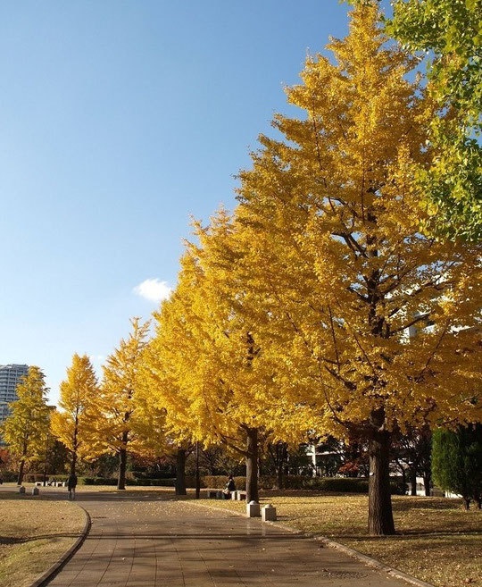 11月22日(2013) イチョウ並木:武蔵国分寺公園