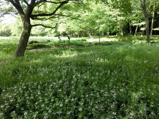 5月3日(2015)オドリコソウの群生:野川公園・自然観察園のひょうたん池の近くで