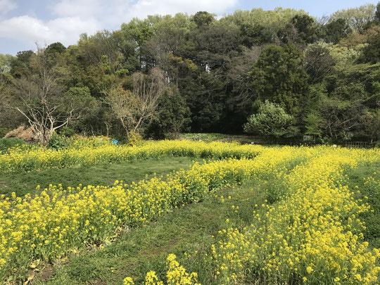 4月1日(2021) 菜の花の畦道:三鷹市の大沢たんぼの菜の花が満開でした。近くには古民家もある里山的景観が残る場所です