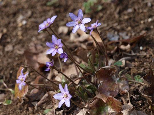 3月5日(2016) 春を告げる小さな花:キンポウゲ科のミスミソウ。別名、雪割草。2月28日、野川公園・自然観察園にて