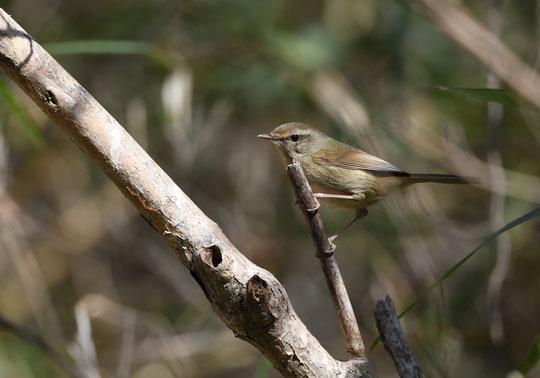 ●ウグイス。幼鳥なのでしょうか?それとも鳴き初めで調子がでないのでしょうか。