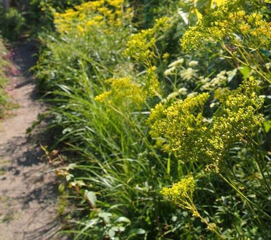9月14日(2014) 女郎花(オミナエシ)の咲く道:調布市野草園で9月13日に撮影。秋の七草のひとつオミナエシ