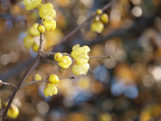 1月8日(2019)厳寒に咲く花:年が明け寒さ本番のころに、やがて来る春の先駆けのように咲く蝋梅。ロウのような美しい光沢と甘い香りが周囲に漂います。野川公園にて(ソシンロウバイ)