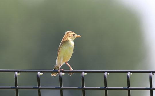 ●武蔵野の森公園のフェンスにとまるセッカ。セッカ:スズメ目、ウグイス亜科(セッカ科)の鳥。体長約12㎝(スズメよりやや小さい)