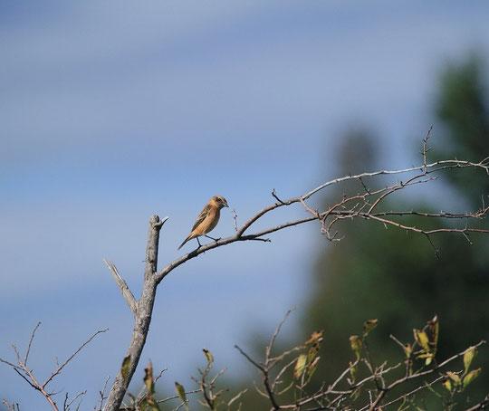 10月23日(2013) 渡り鳥の休息:ノビタキ(武蔵野の森公園で10月17日に撮影されたもの)ご投稿頁をご覧ください