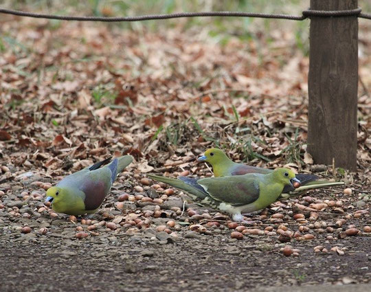 ●ドングリを食べるアオバト:2月20日、神代植物公園で撮影