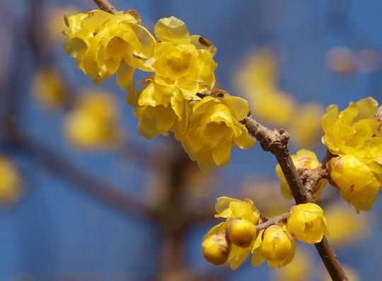 1月11日(2020) ロウバイが咲きました:花が少ないこの季節、甘い香りで心を和ませてくれるのがロウバイ(蝋梅)。蕾も可愛いですね。野川公園・自然観察園にて