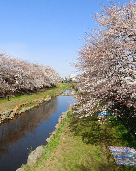 3月23日(2013) お花見日和の朝の景色(野川遊歩道:調布市)