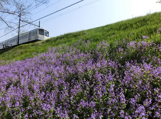 ●西武多摩川線の土手一面に咲いていたムラサキダイコン(諸葛菜)です。ラリーポイントEの近くで発見しました。3月31日