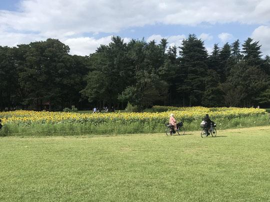 9月16日(2021) 向日葵の群生:すっかり秋らしくなりました。そんな折り、都立小金井公園で意外にもヒマワリの群生に遭遇。手前にはコスモスも咲き始めていました。